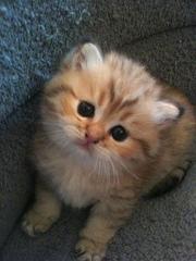 Мейн - кун котята из профессионального питомника